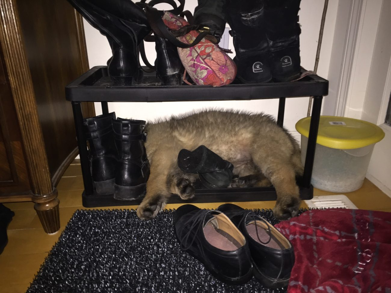 Jingle falls asleep in the shoe rack