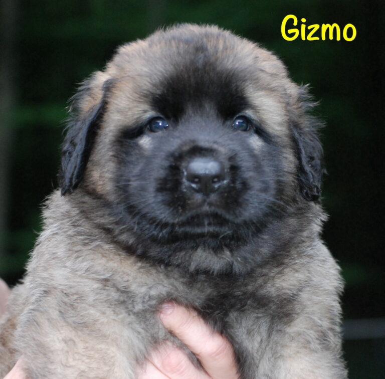 Gizmo - 5 weeks for website