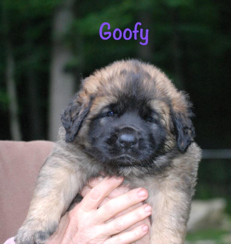 Goofy - 5 weeks for website