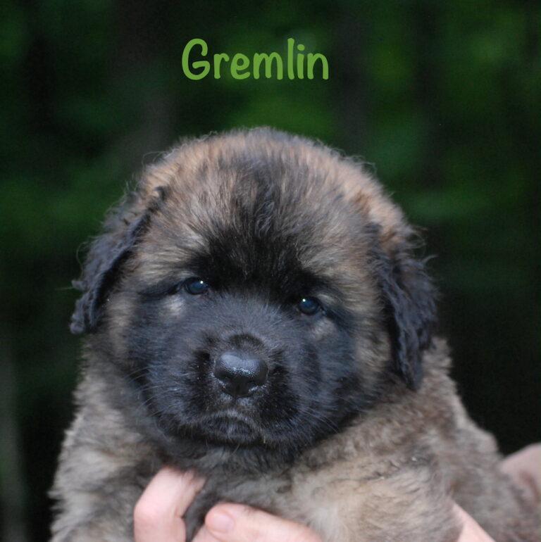 Gremlin - 5 weeks for website
