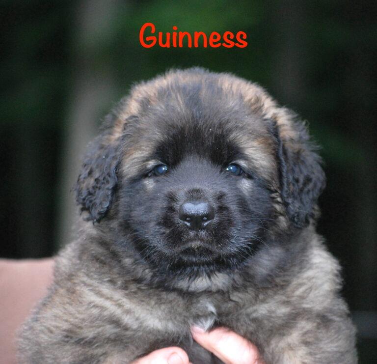 Guinness - 5 weeks for website