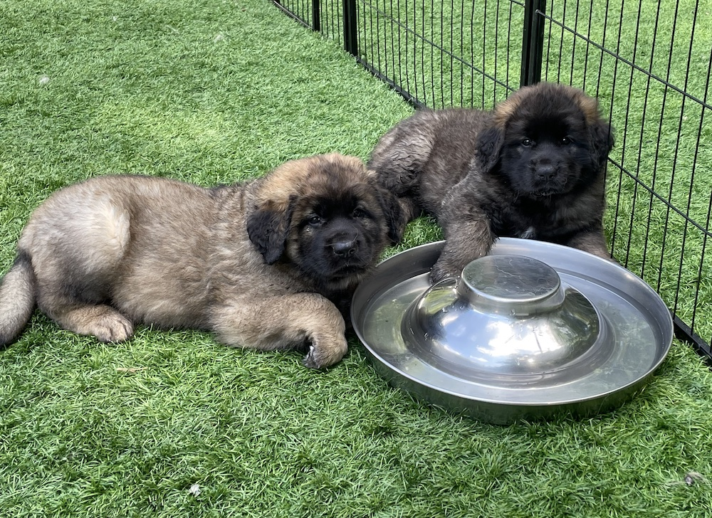 Two puppies in the water bowl for website